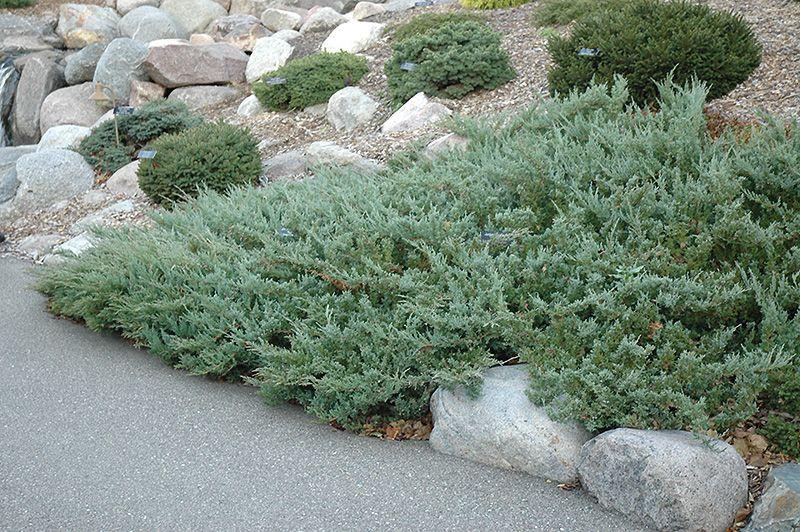 Hughes Juniper Juniperus Horizontalis Hughes At Bachman S Landscaping Plants Plants For Planters Low Water Gardening
