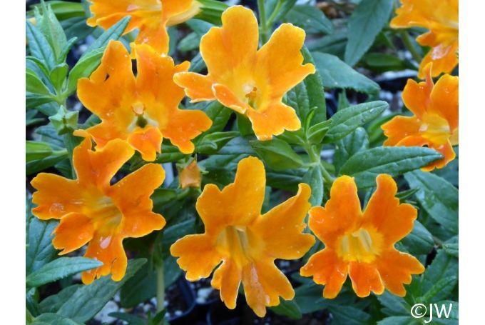 Mimulus Jelly Bean Orange California Flora Nursery