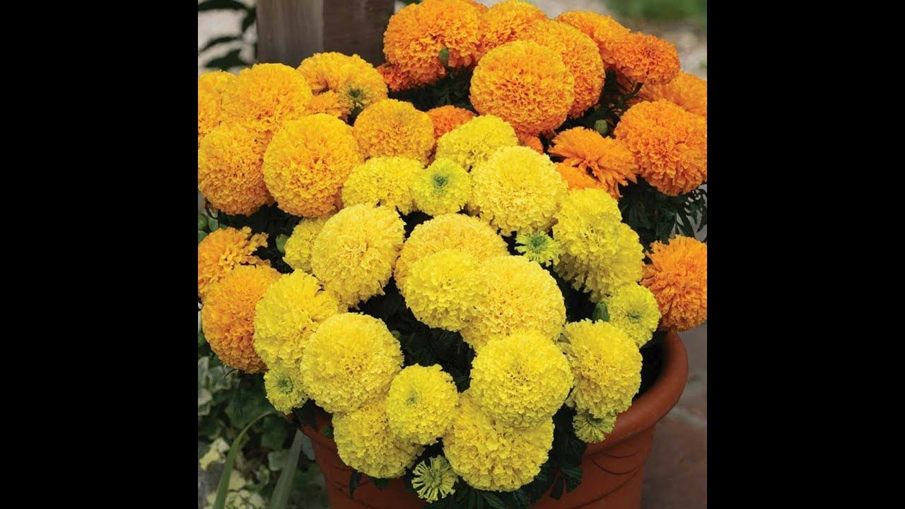 How to Prepare Soil and Grow Marigold Flower Plant