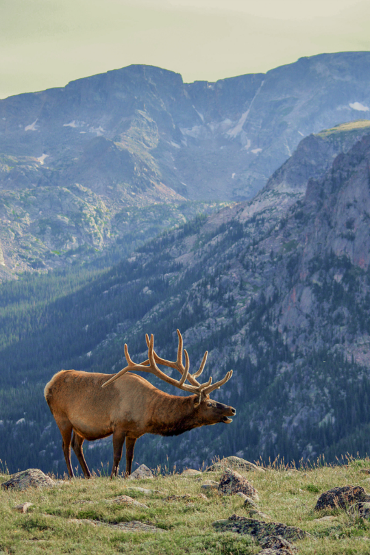 tulipnight:  Elk in the Rockies by Allie