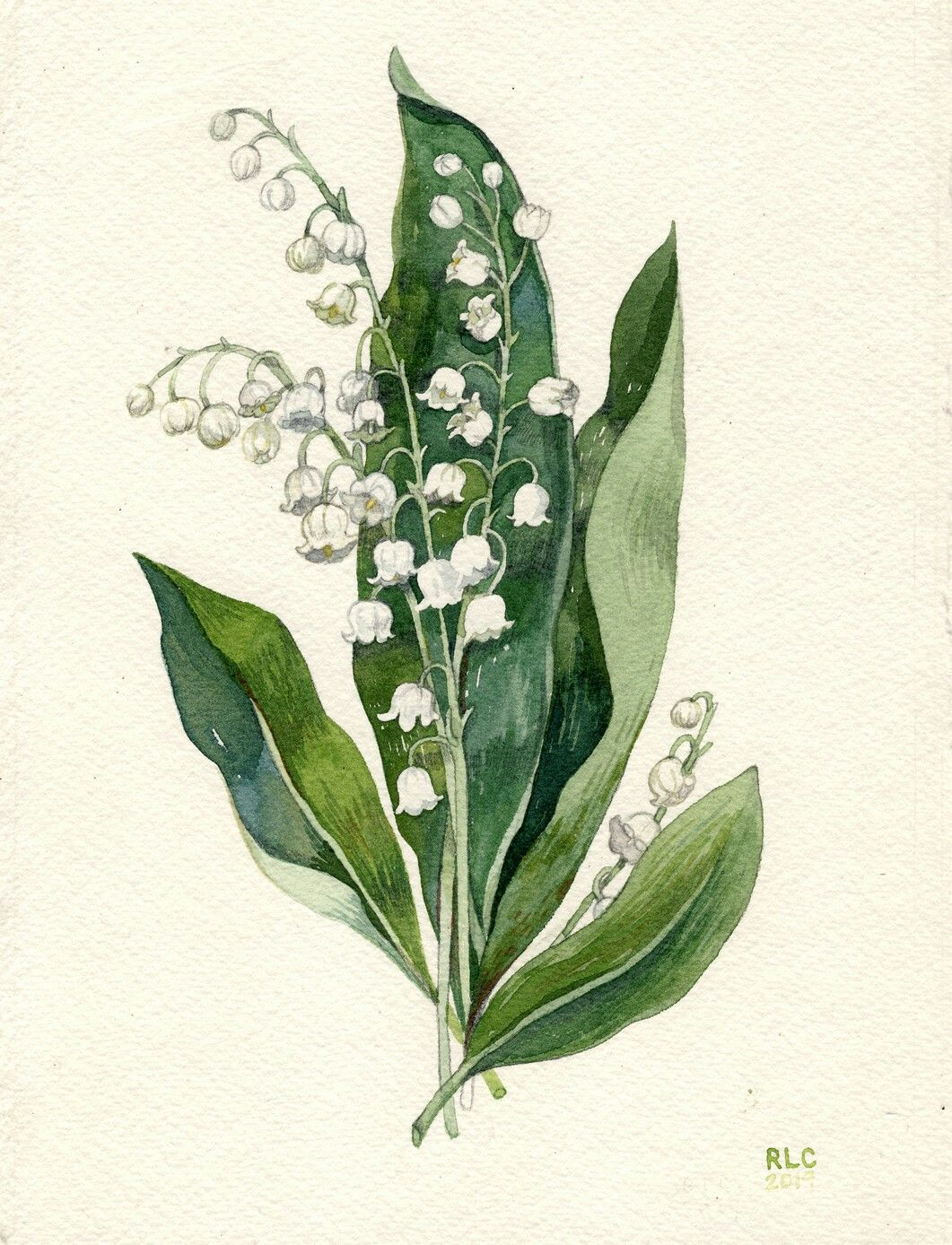 Convallaria majalis, Ruscaceae, Lily of the Valley