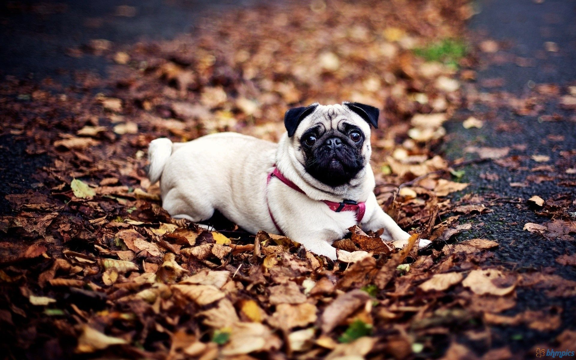 Pug Dog Sitting In Autumn Leaves