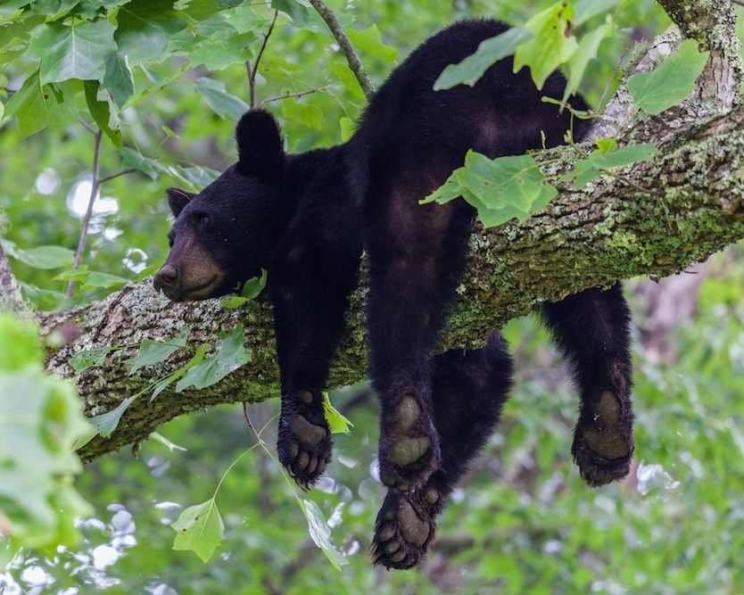 Black bear in a tree in the Smokies at one of the best national parks in USA.