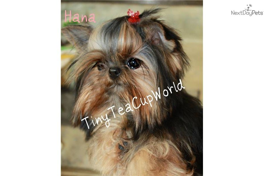 Only 1 Lb Grown Adult Micro Teacup Yorkie Yorkie Puppy For Sale Yorkshire Terrier Yorkie