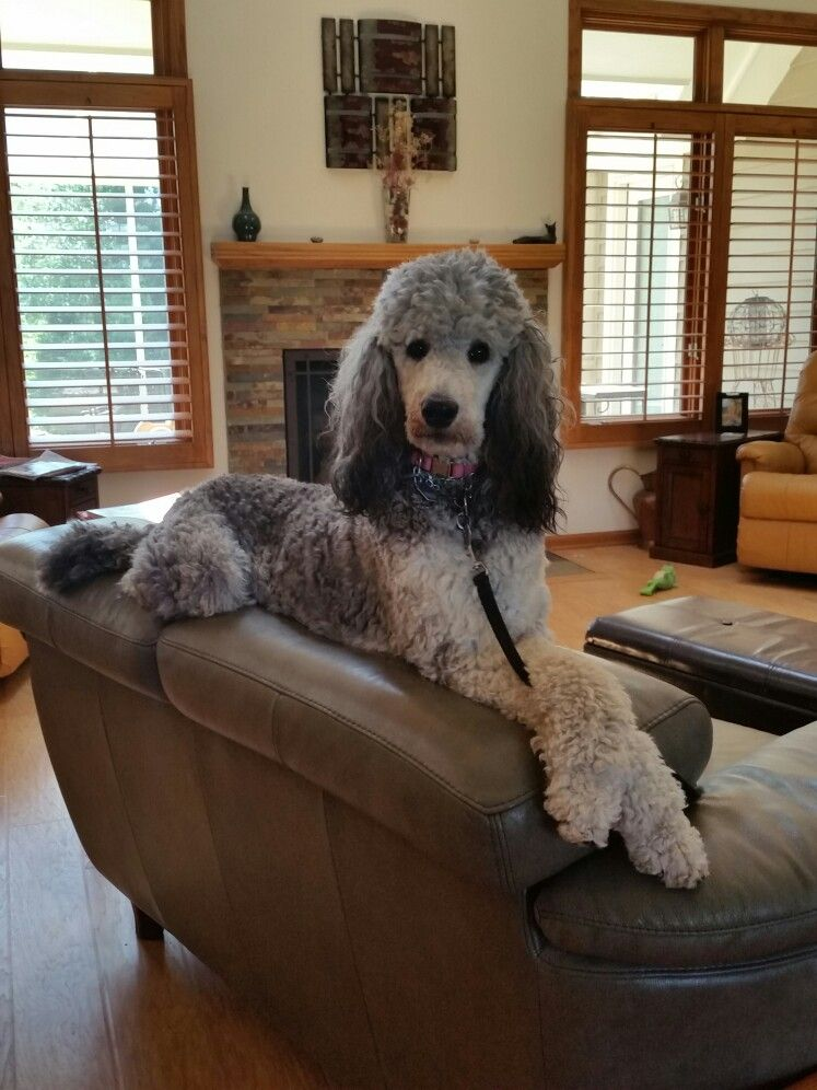 So Comfortable With Images Poodle Dog Dog Breeds