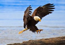 Aterrizaje perfecto, águila calva, Alaska Imagen de archivo libre de regalías