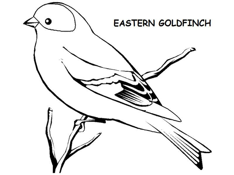 Eastern American Goldfinch Drawing See The Category To Find More