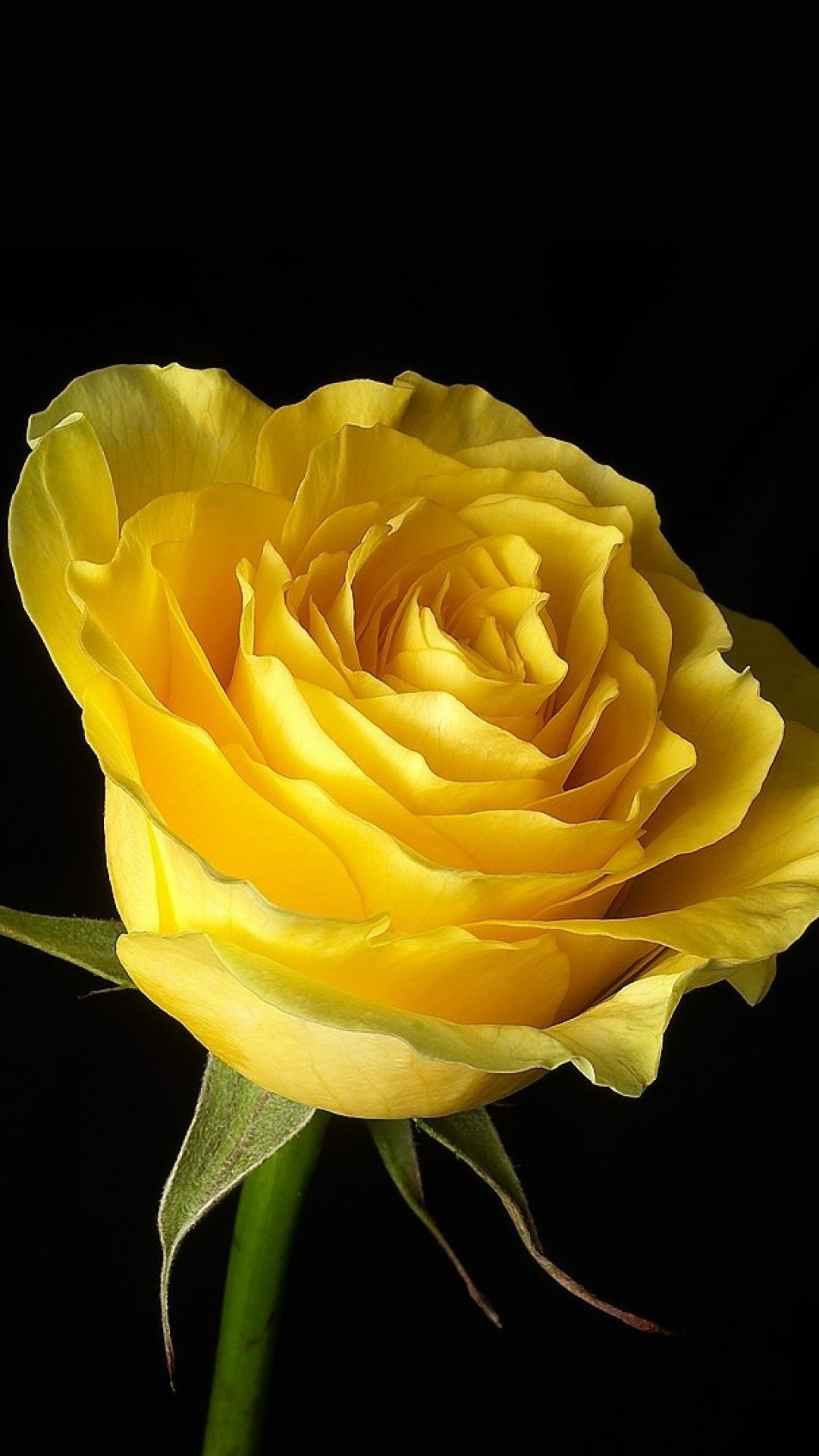 Download Wallpaper 1080x1920 Rose Flower Yellow Bud Background Close Up Sony Xperia Z1 Zl Z Samsung Rose Flower Photos Yellow Rose Flower Yellow Roses