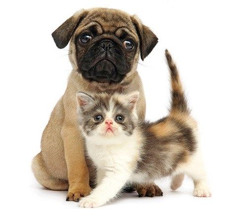Cute Pug Puppy Kitten With Images Cute Puppies And Kittens