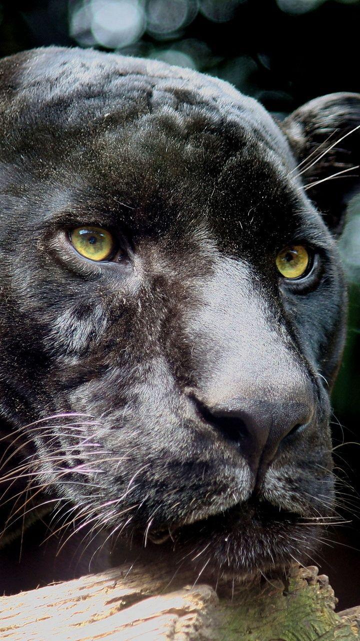 720x1280 Wallpaper Panther Wild Cat Predator Black Black