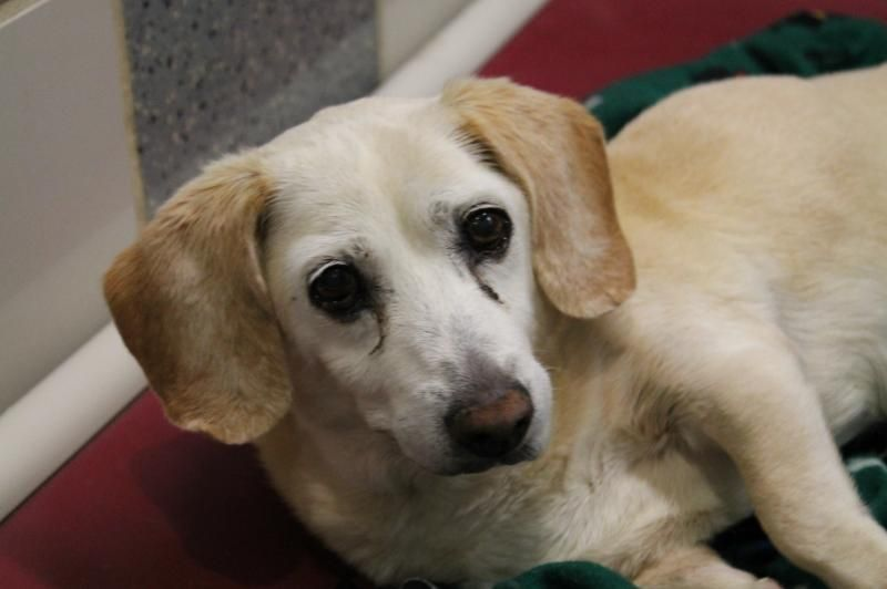Adopt Liberty on Adoptable beagle, Beagle dog, Adoption