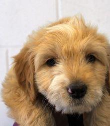Adopt Angus On Petfinder Spaniel Dog Dogs Corgi Mix