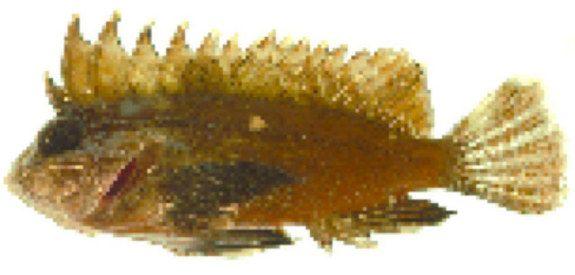 Venomous Waspfish