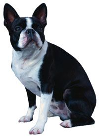 Cutie Dogs Boston Terrier Dog Toys