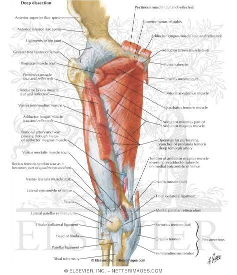 Muscles of Thigh: Anterior Views | Anatomy & massage | Pinterest ...