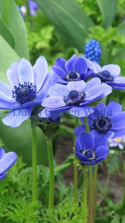 Anemone Coronaria Mr Fokker Top Kwaliteit Bloembollen Summer Flowering Bulbs Beautiful Flowers Purple Flowers