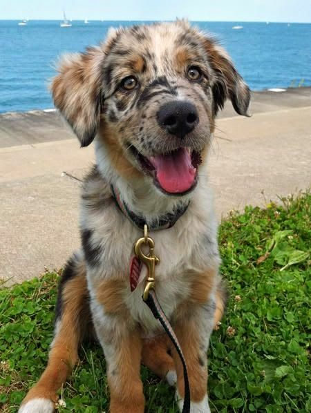 This Is An Anatolian Shepherd Puppy With Quiet Strange And Unique