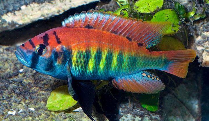 Pundamilia Nyererei Pundamilia Nyererei Cichlid African Cichlid Aquarium African Cichlid Tank Cichlid Aquarium