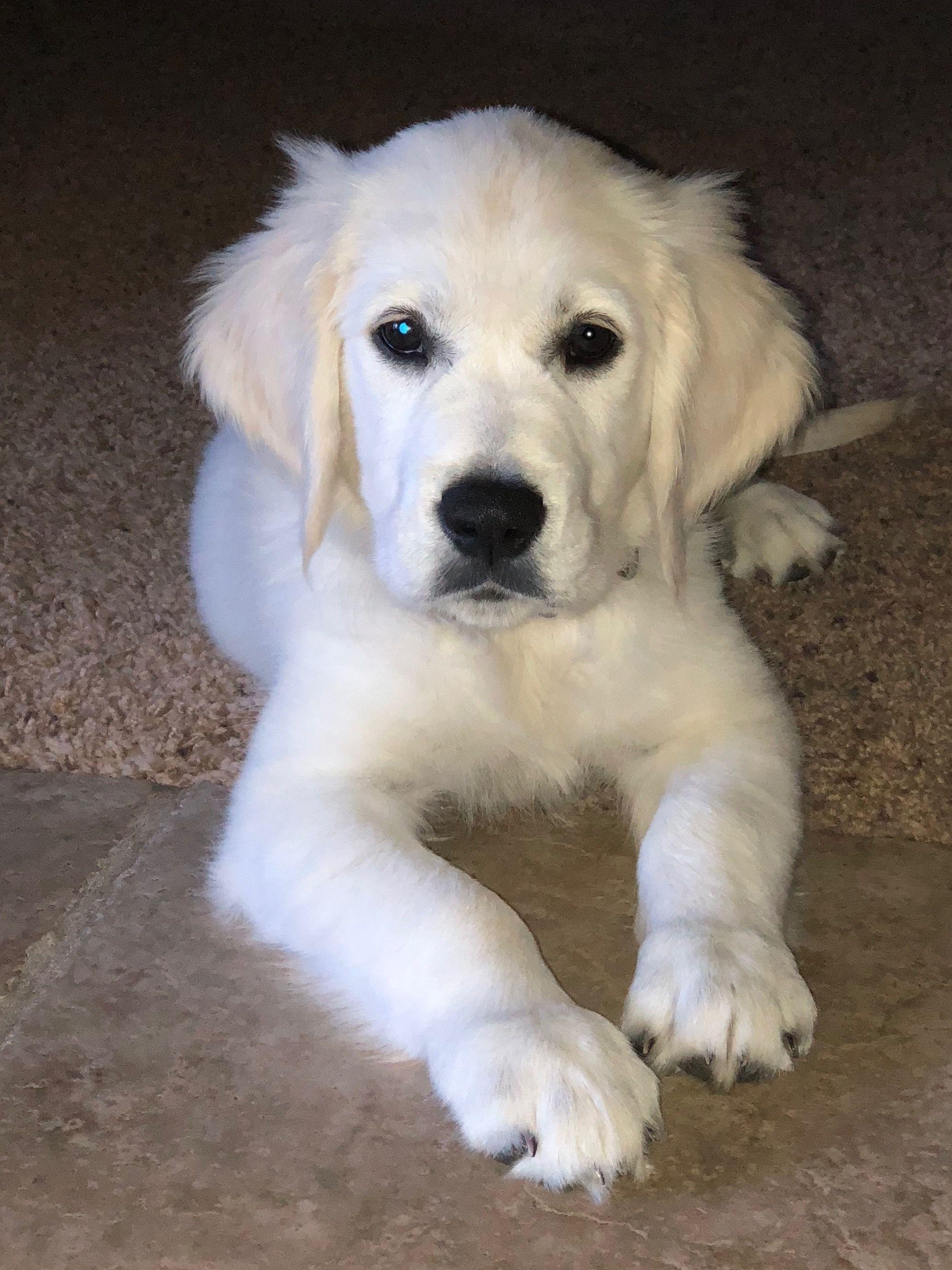 English Cream Golden Retriever Puppy Golden Retriever White