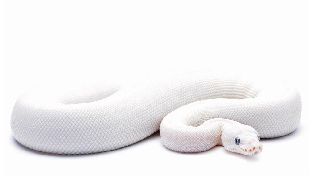 python-10322219dkgzj.jpg (1024×574)