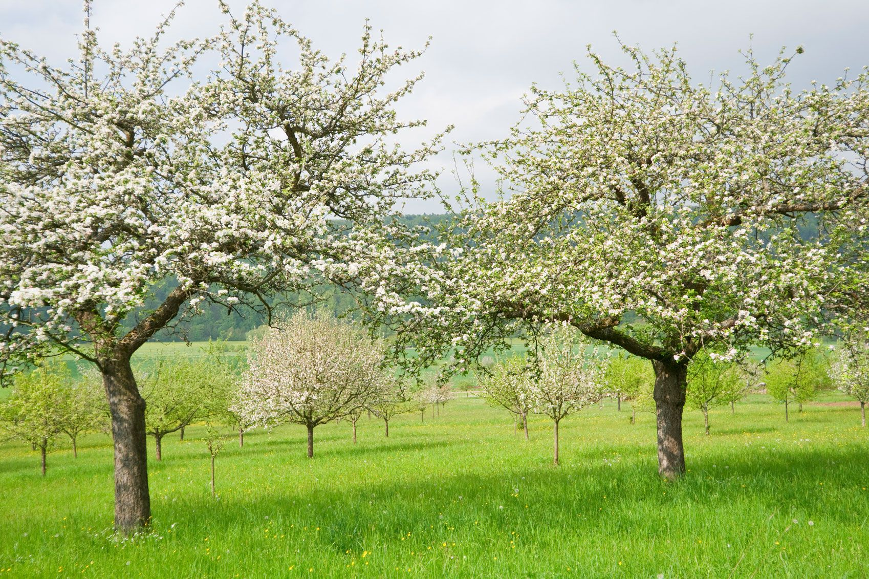 Fruit Trees Arent As Carefree As You Might Like Pests
