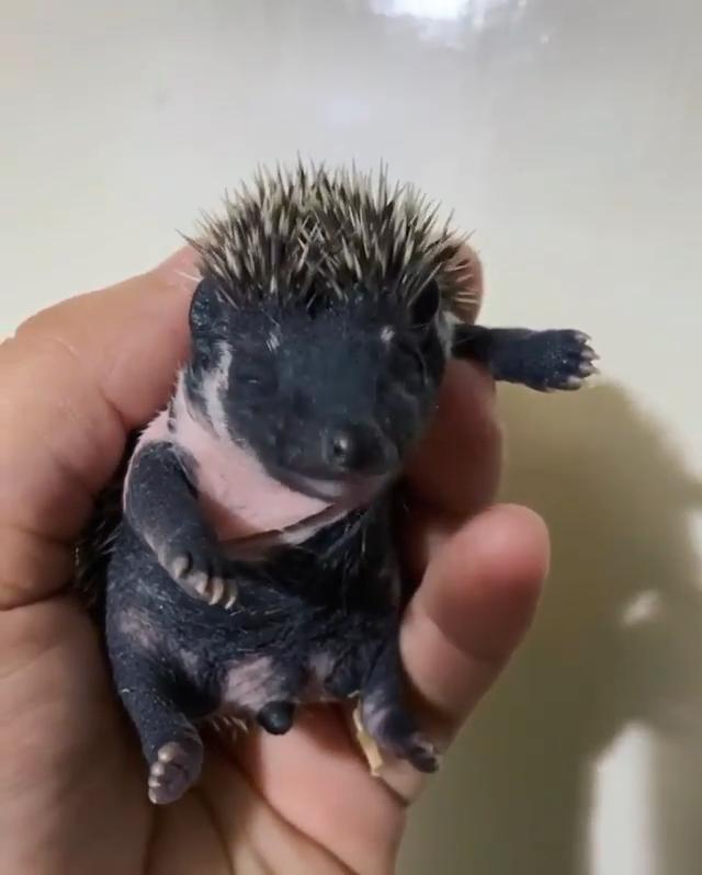 Baby Hedgehog #animalsbeautiful
