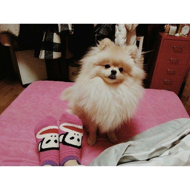 Fluffy #PaulFrank socks + fluffy Pomeranian = ♥