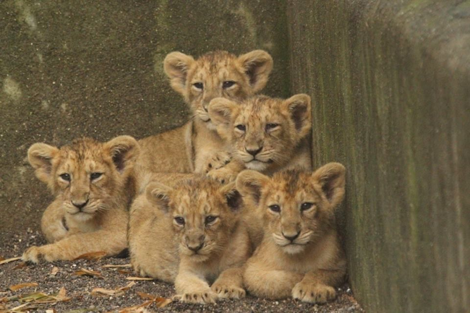 Finally Names of 5 cubs announced at Junagadh, India BOYS