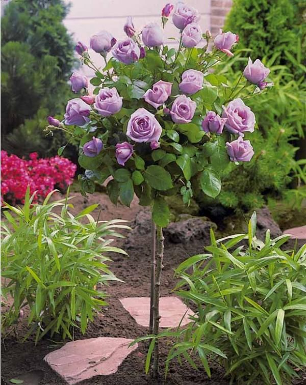 Beautiful rose tree of sterling roses rosier sur tige for Achat de plantes sur internet