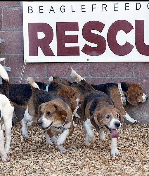 These Adorable Beagles Were Rescued Last Week After Many Years As