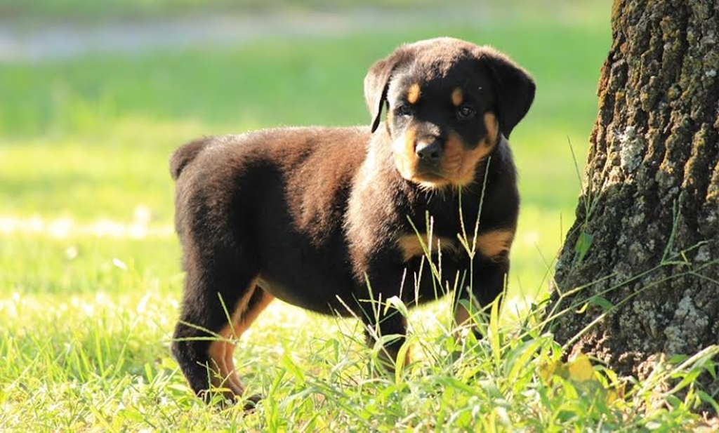 Find Healthy Rottweilers For Sale In Idaho At King Rottweilers We