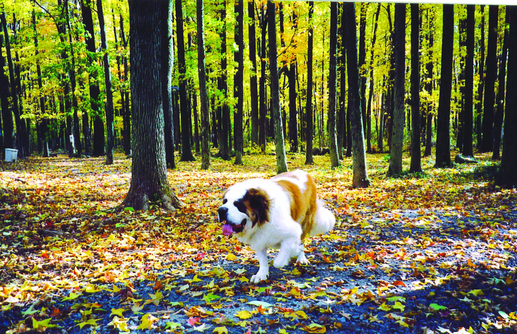 best dog runs DogSt.Bernardrunningthroughfall