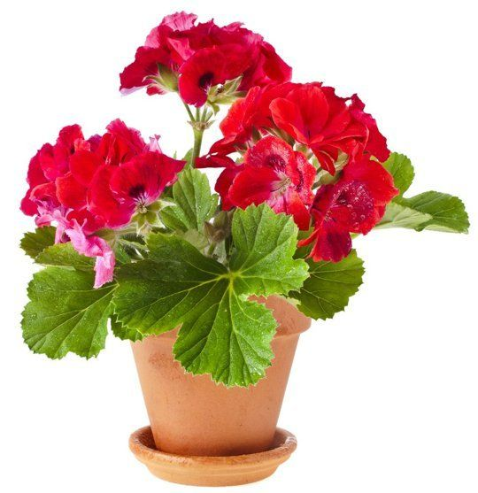 Add Some Color Cheery Easy To Grow Indoor Flowering Plants