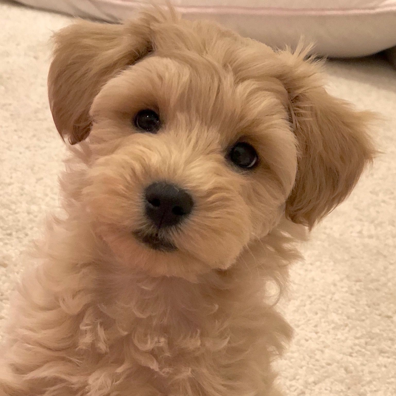 Our Little Jasper Apricot Schnoodle From Growingpuppies Com Dog