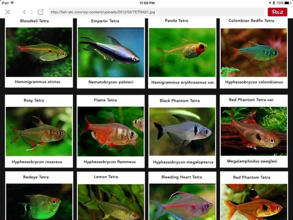 Tetras Planted Aquarium Fish Pet
