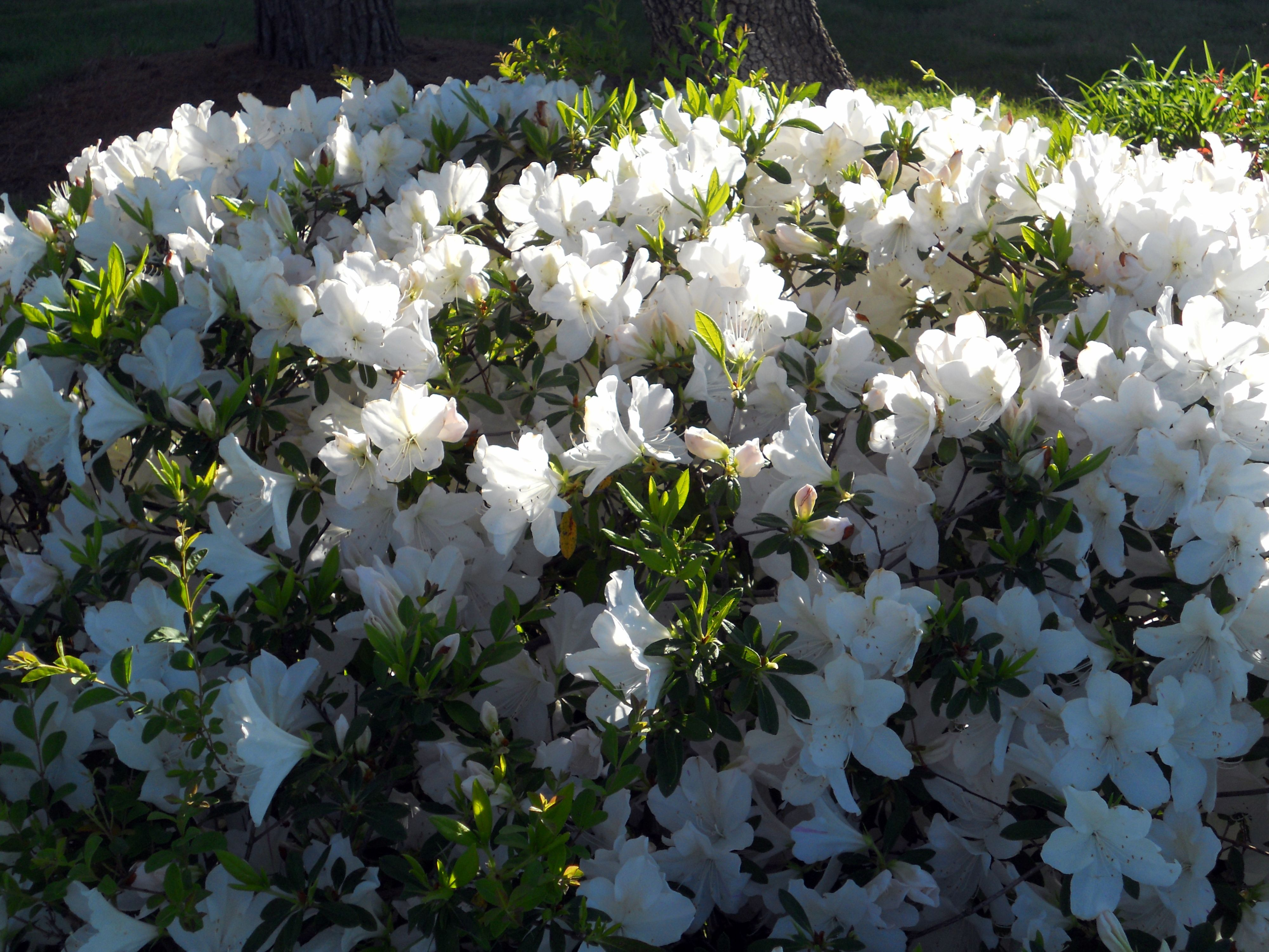 I Love Azaleas And This Beautiful White Formosa Azalea Is The Epitome Of Spring