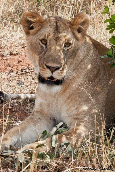 elfoton14 #categoría #Fauna En el Concurso de Fotografía Elfoton.es tenemos 9 categorías para que todo el mundo encuentre la suya. #Instagram #sinfiltros Participa hasta 15 de  julio en http://elfoton.com Usuario: orcinus (España) - En estado puro - Tomada en El Montseny el 26/05/12 : jero (España) - Reposando - Tomada en Masai Mara / Kenya el 29/08/2012