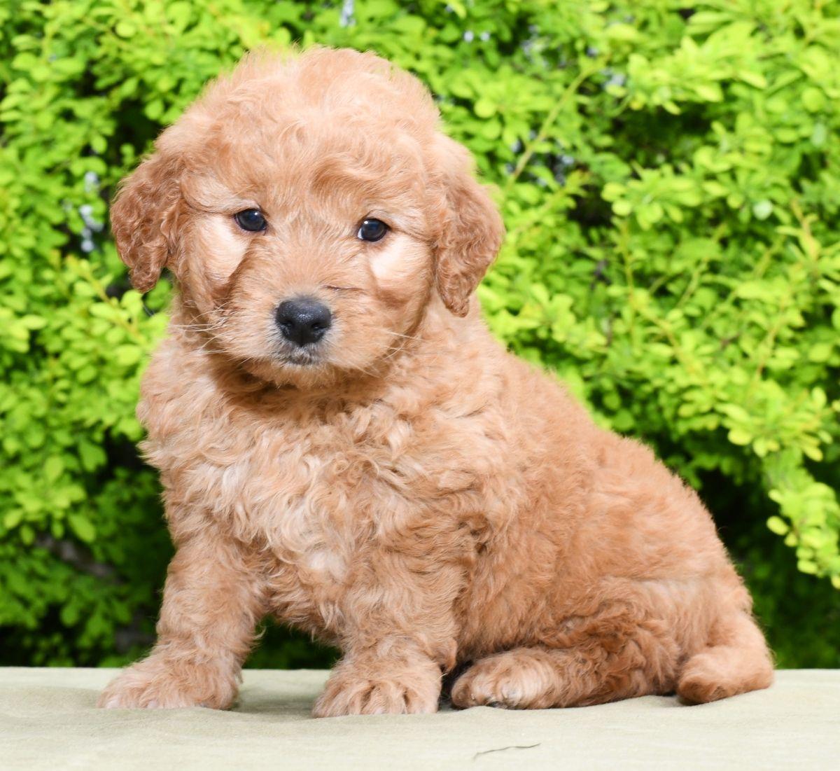 Lovable MiniGoldendoodle Mini goldendoodle puppies