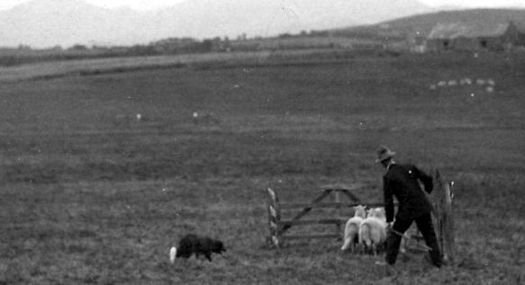 Old Photograph Of A Sheepdog Trial In Highland Perthshire Scotland Livestock Guardian Dog Livestock Guardian Sheepdog