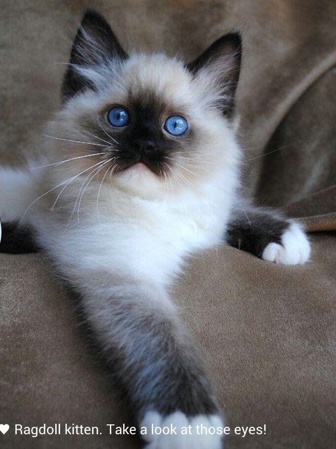 Kitten Best Cat Breeds Ragdoll Cat Breeders Cute Cats