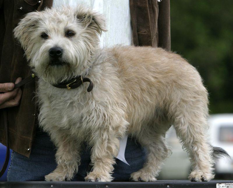 glen of imaal terrier pictures