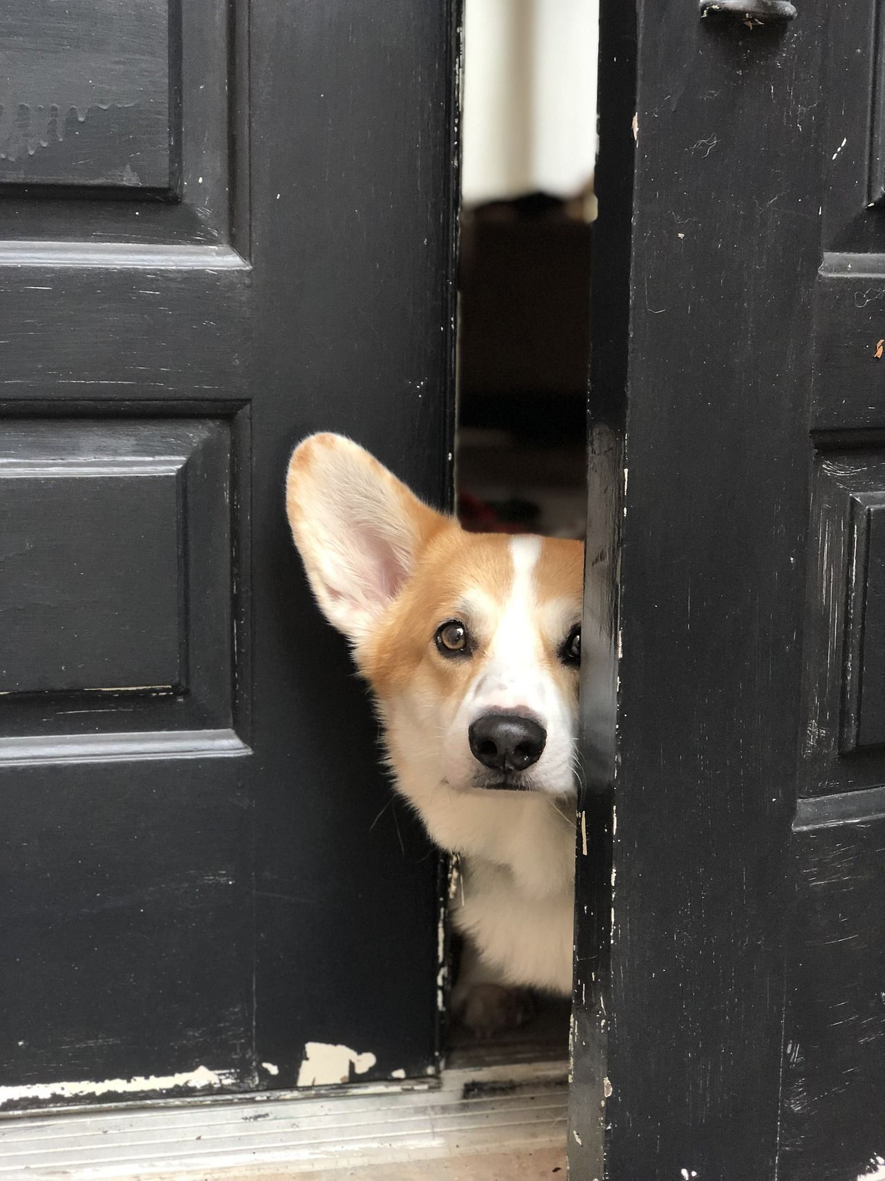 Curious Little Corgi At Queenscorgi Tumblr Com Corgi Dog Corgi