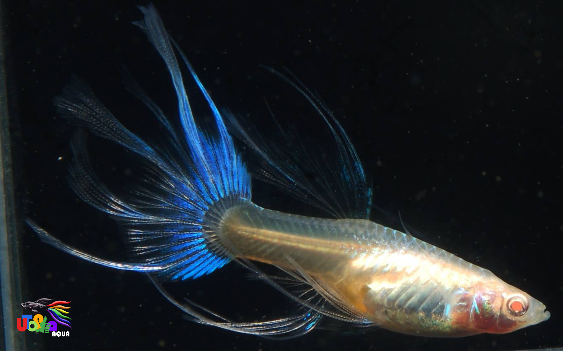 Guppies For Sale In Bangalore