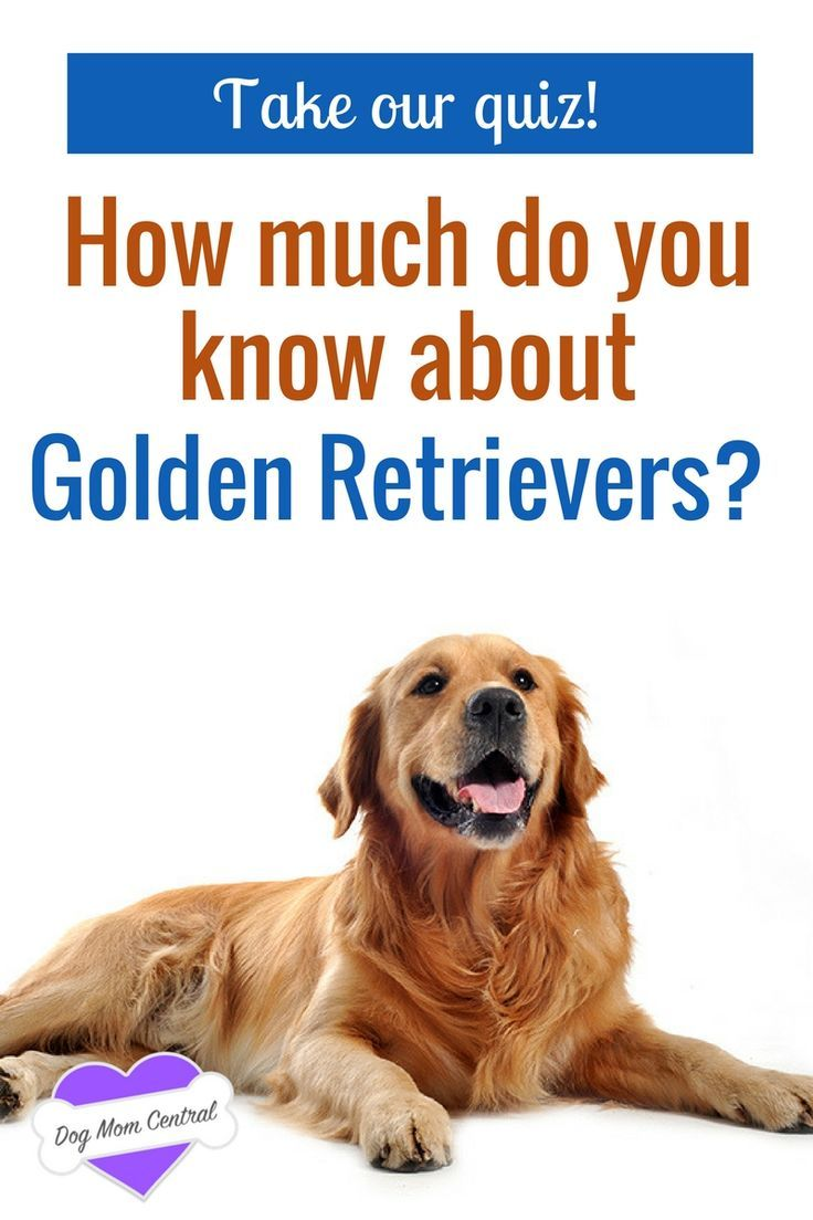 Quiz How Much Do You Know About Golden Retrievers Golden Retriever