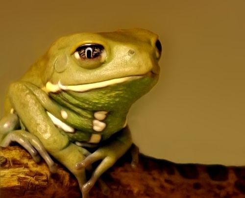 This little Waxy Monkey Frog and the sensitive expression it has ...