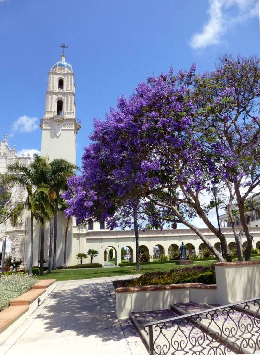 Blooming Jacaranda At University Of San Diego Scenic San