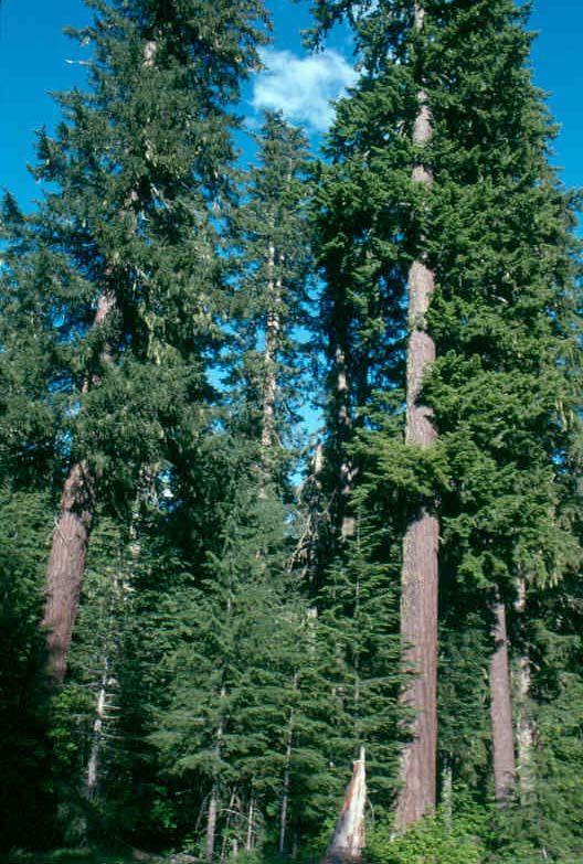 WASHINGTON State Tree - forest of Western Hemlock trees ...
