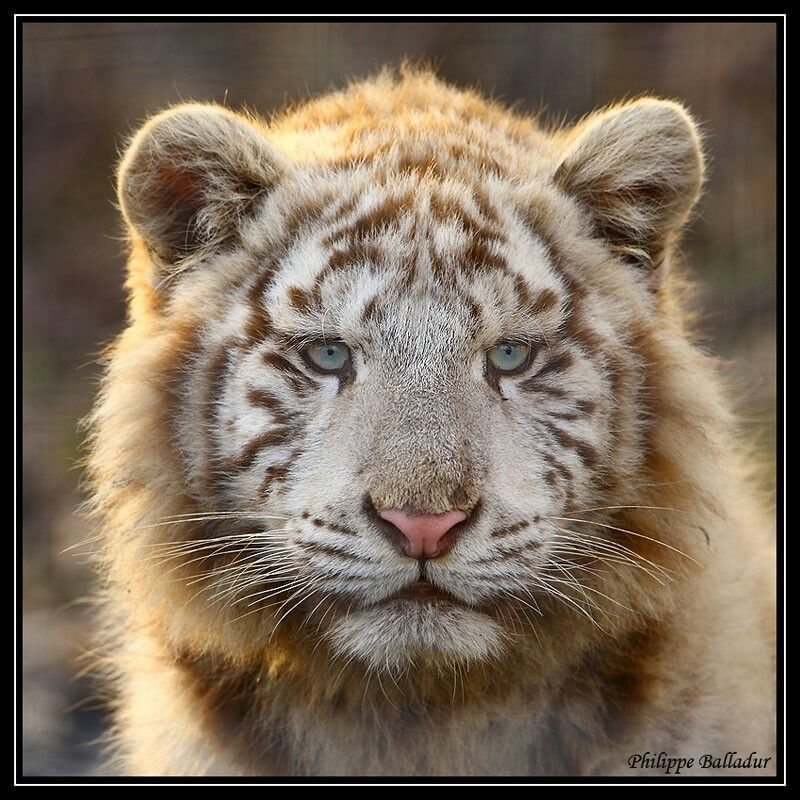 Tigon, hybrid of a male tiger and a lioness. Do not occur
