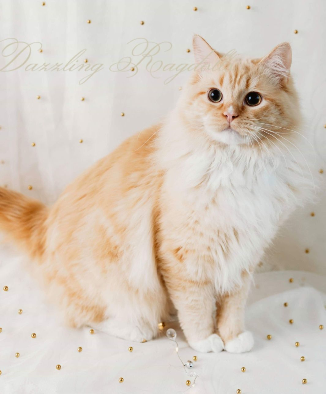 Flame Sepia Ragdoll Ragdoll Cats For Adoption Cutest Cats Ever Kittens