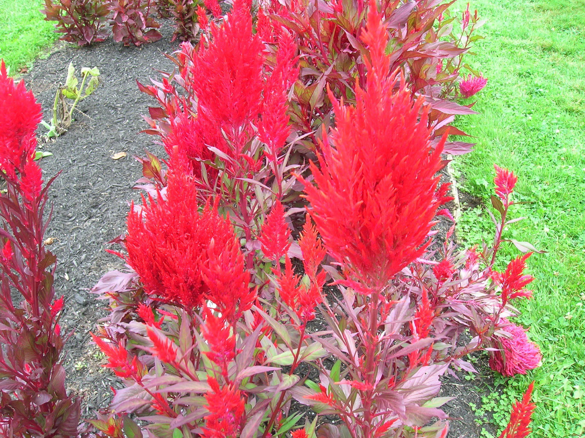 How To Grow Celosia Grow Celosia Grow Cockscomb Growing Flowers Coxcomb Flowers Spring Planting Guide